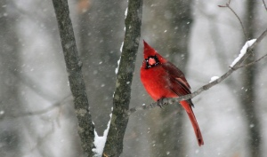 cardinal-snow-snowstorm-red-bird-Favim.com-474579